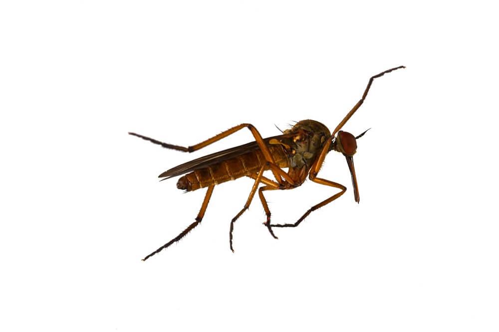 Species of Mosquito