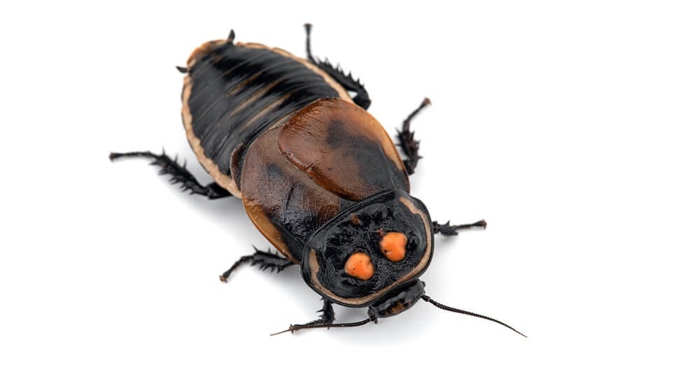 tropical cockroaches